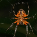 GOLDEN ORB-WEB SPIDER, Playa Nicuesa